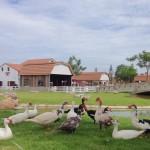 ฟาร์มแกะ สถานที่ท่องเที่ยวพัทยา6
