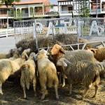 Swiss sheep farm1